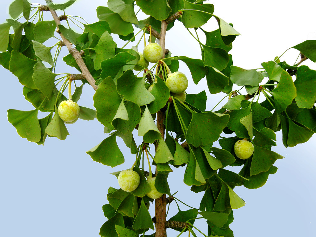 Ginkgo Biloba Maidenhair Tree Unripe Fruit And Branches