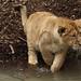 Aziatische leeuwen
