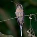 Rabo-branco-pequeno (Phaethornis squalidus)