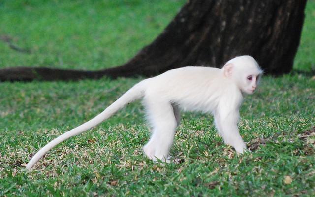 Baby Albino Monkey Whitey, the albino baby monkey