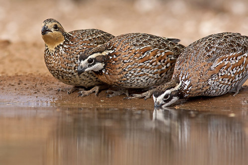 Northern Bobwhite | by Stephen J Pollard (Loud Music Lover of Nature)
