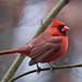 Male Cardinal in the Rain