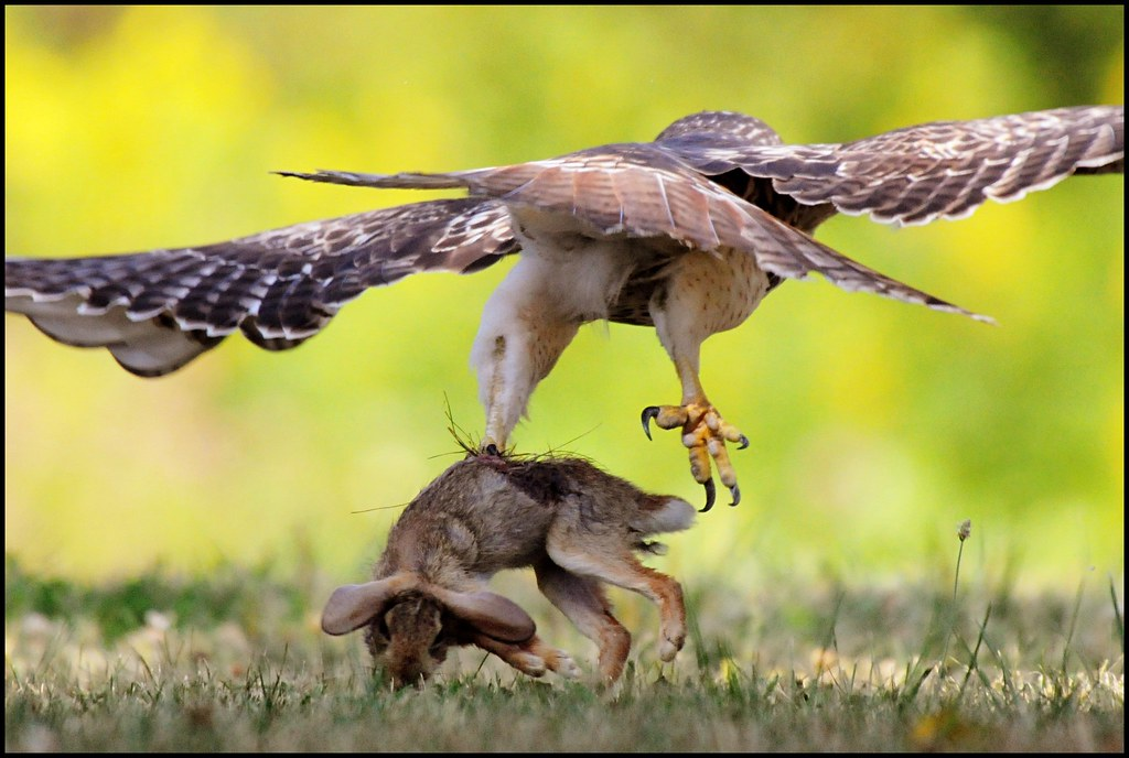 Red Tail Hawk A Danger To Small Dogs