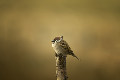 Sparrow | by Chris McLoughlin