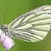 klein geaderd witje (Pieris napi)