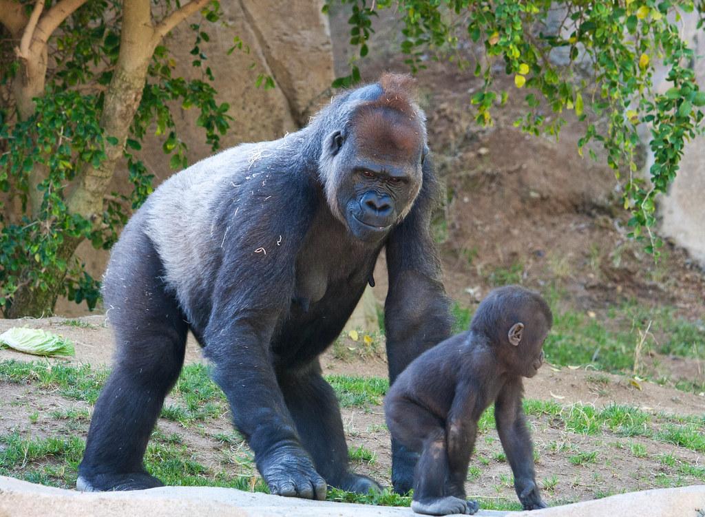 Mother & baby Silverback gorilla   sammibay   Flickr Newborn Silverback Gorilla