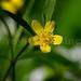 Five petal yellow flower