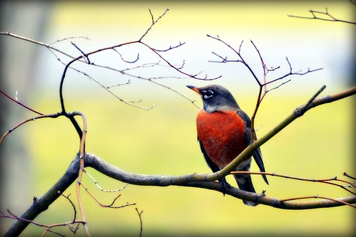 Sure sign of Spring - Robin - Bird | by blmiers2