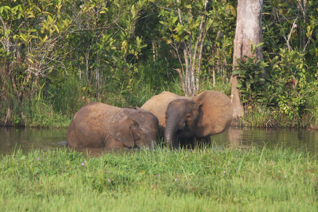Female Forest Elephants Have