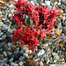 Winter Red Plant