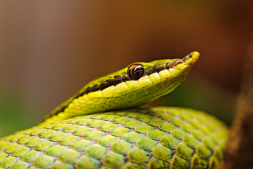 Green pointy snake | by Tambako the Jaguar
