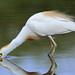 Cattle Egret (Bubulcus coromandus)