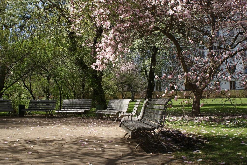 Magnolias en fleur dans le parc à Prague.