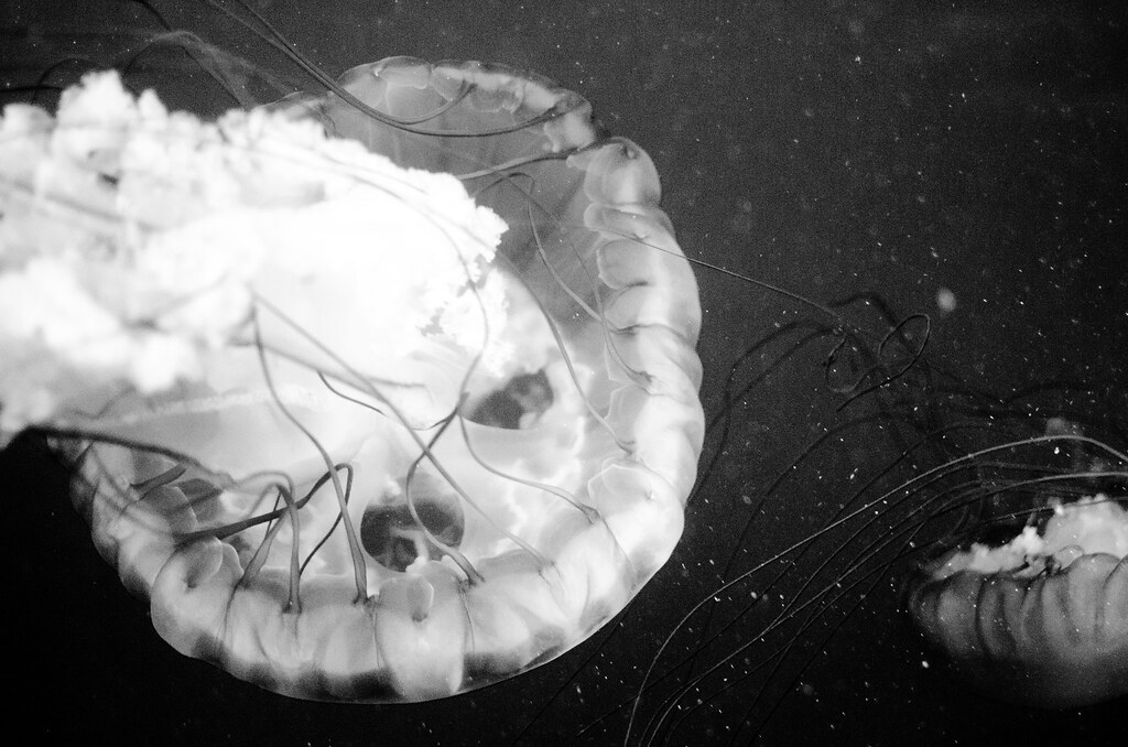 Jellyfish Photography Black And White Jellyfish Art Black Amp White