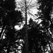 231111-dianas-grove-japanese-larch