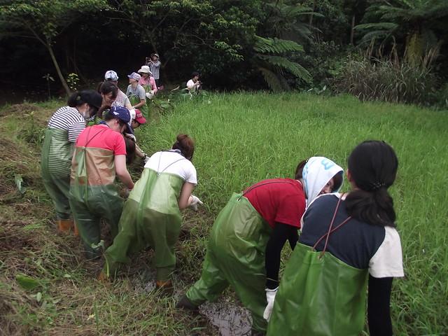 志工疏伐李氏禾,避免水池濕地陸域化。攝影:張景雲。