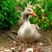 pilgrim goose.