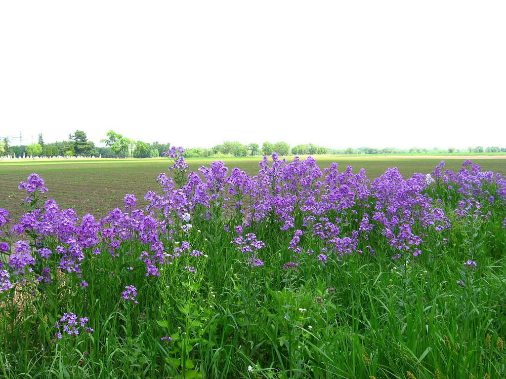 Wild Phlox Growing At The Edge Of Brodhead Wi Img 1758