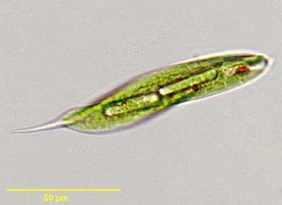 Resultado de imagen de euglena