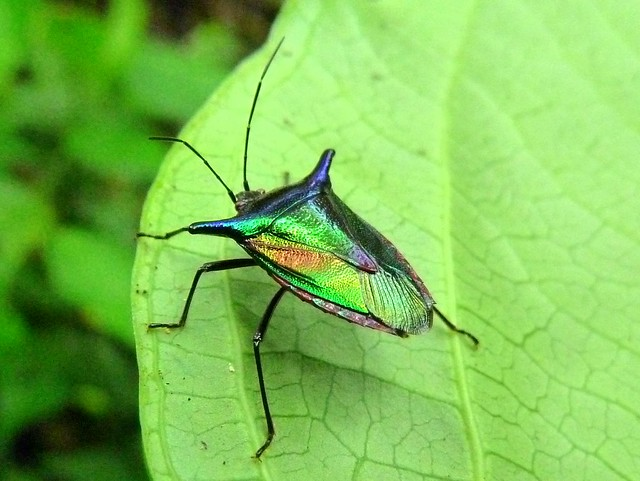 insecto palo