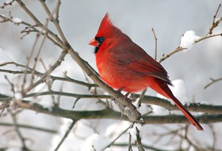 Cardinal in the Snow... | by nature55