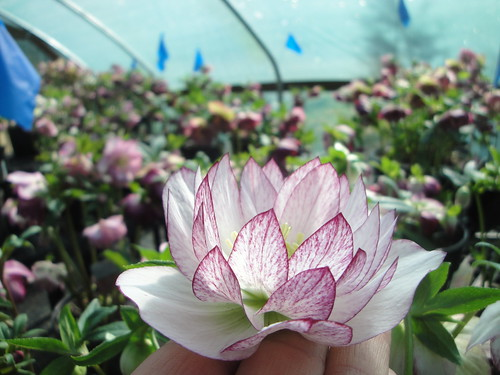 Helleborus Winter Jewels® 'Peppermint Ice' in stock house close up | by RHR Horticulture