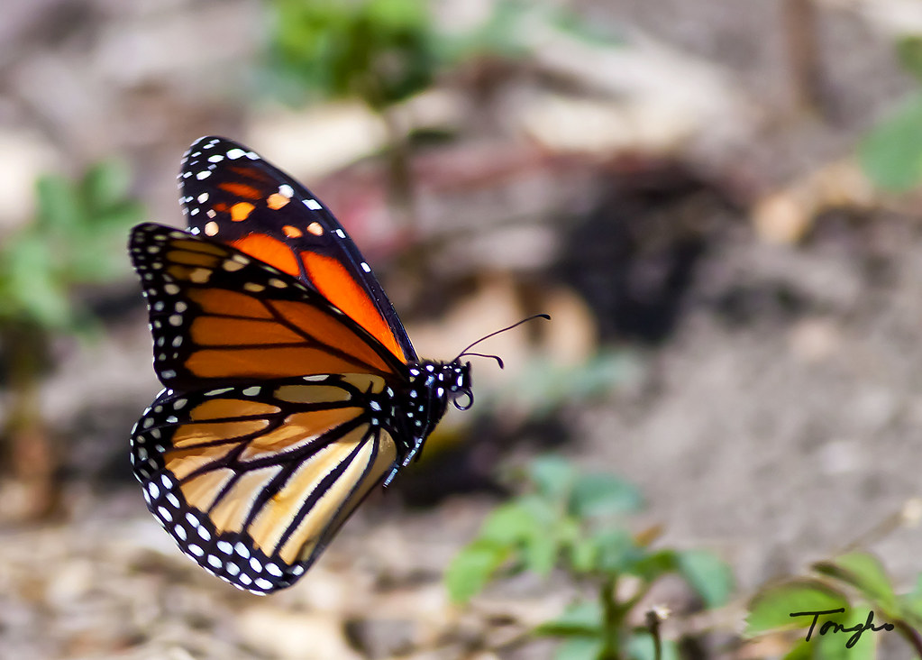 Monarch Butterfly In Flight | This is my first butterfly ...