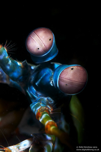 Snooted Peacock Mantis Shrimp | by digidiverdeb