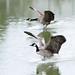 canada-geese-landing_#374