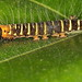 "Erebid moth Caterpiller  - ""visited"" by a tiny biting midge"