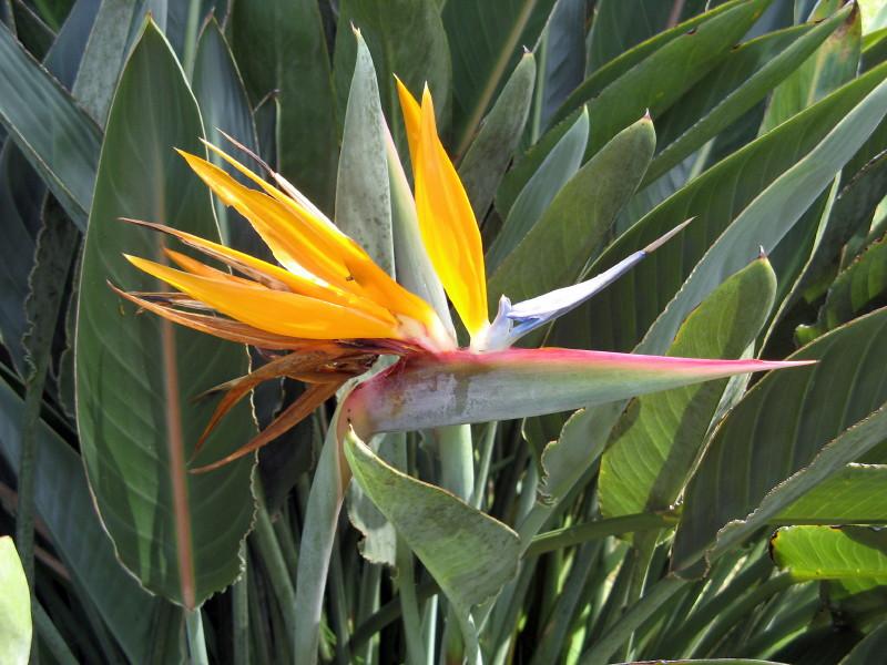 Bird Of Paradise Flower Cuba The Crane Flower Or Bird Of Flickr