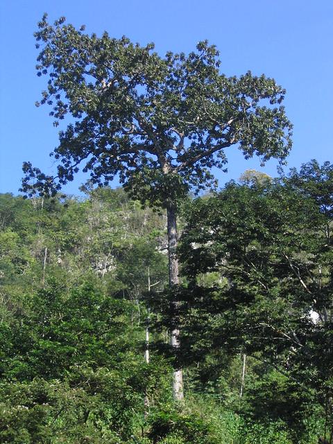 Arbol enorme de zapote mamey | Localizado en la zona del ...