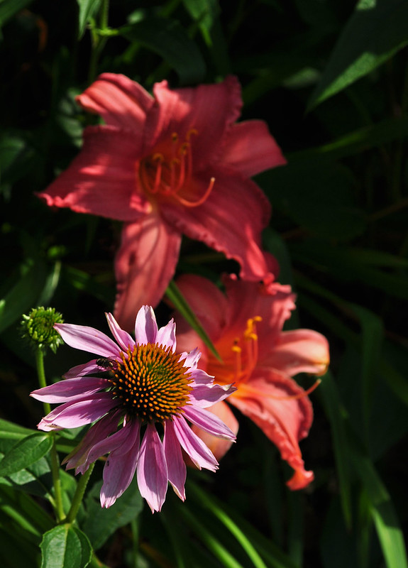 Echinacea purpurea (3)