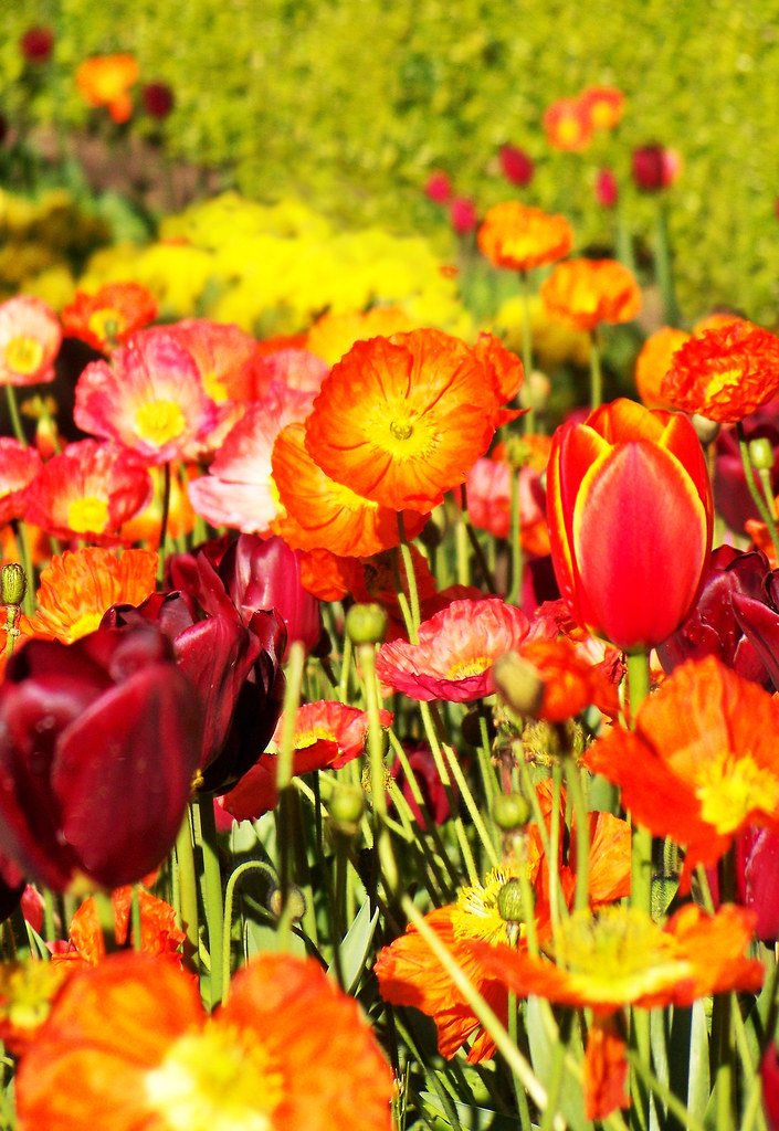 Sping Tulips And Poppies Queen Wilhelmina Tulip Garden Ma Flickr