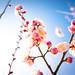 ume '12 - plum blossoms #4 (Osaka castle, Osaka)