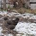 Chickens on snow 10 - FarmgirlFare.com