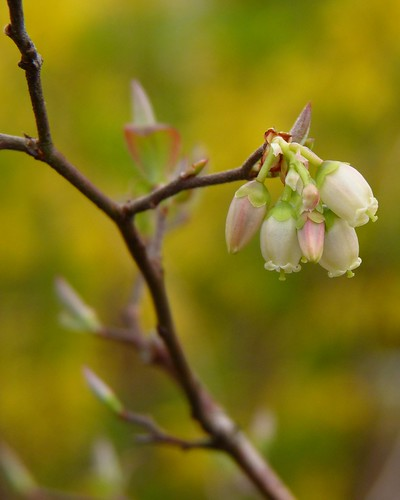 Northern highbush blueberry flowers | by Dendroica cerulea