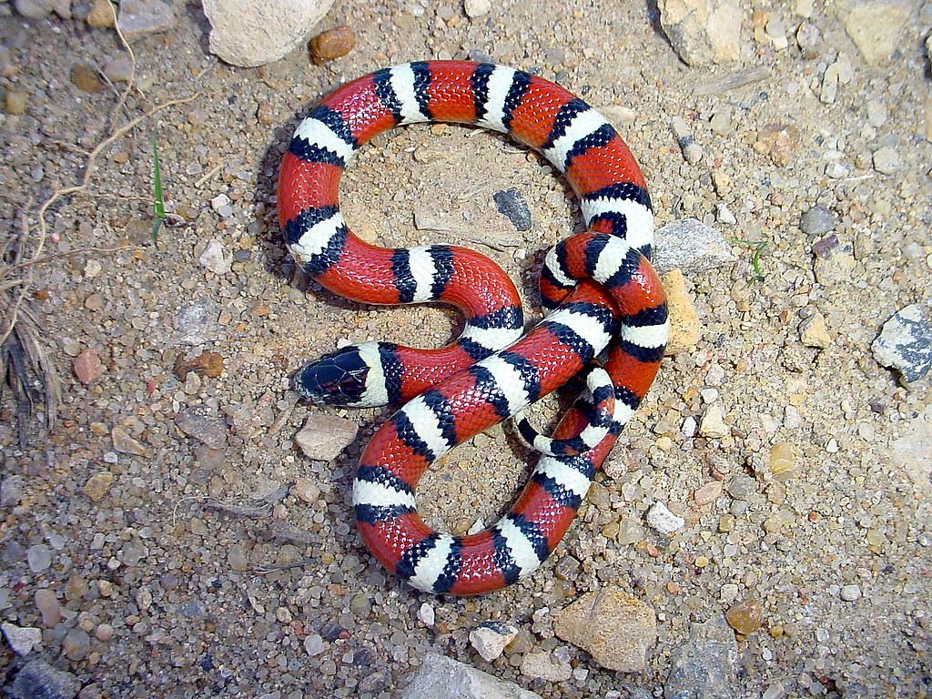 Juvenile Central Plains Milk Snake - Kansas   Tricolor ...