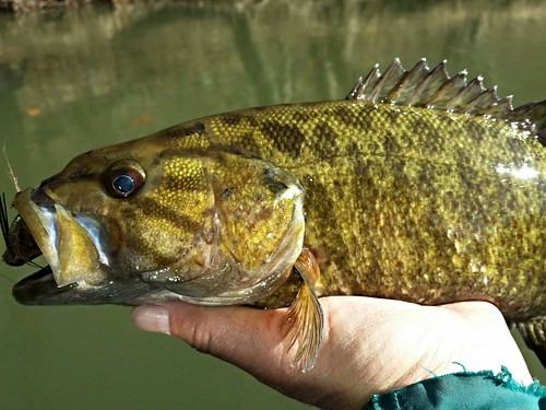 Photo of smallmouth bass