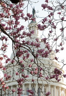 Tulip Tree in Bloom | by USCapitol