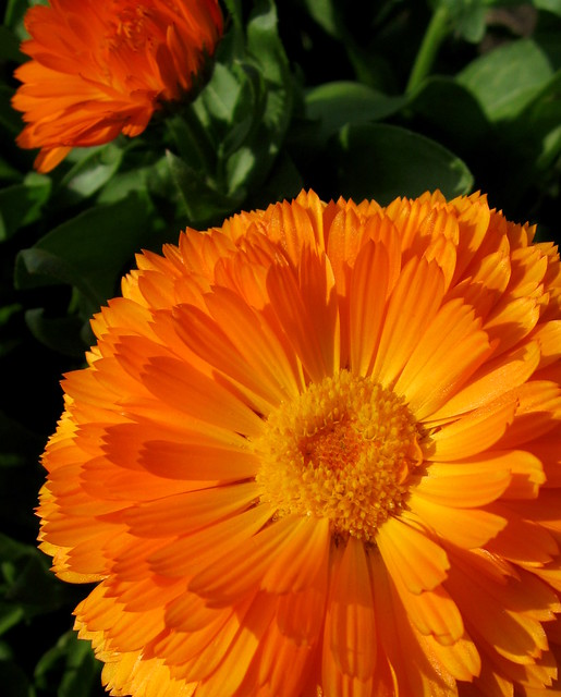 Classy Calendula by My Lovely Wife (Explore #243 2/26/12)