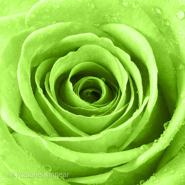Lime Green Rose With Water Droplets