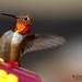 Visiting Hummingbird..