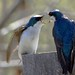 Tree Swallow Argument