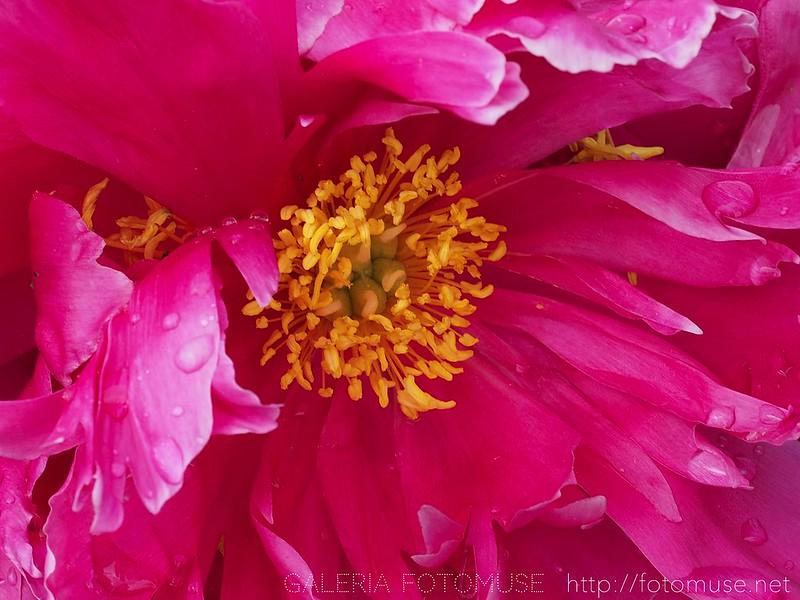 Piwonia / Peony flower