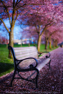 Cherry Blossom Bench | by Darren White Photography