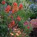 Antirrhinum majus 'Double Azalea Apricot' garden