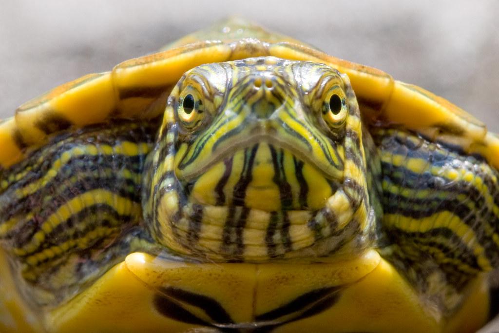 Water Turtle Baby water turtle Greg Davis Flickr