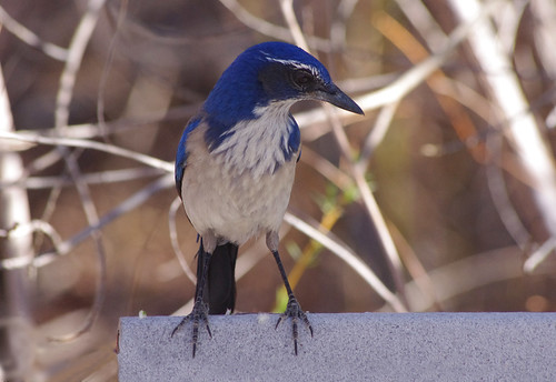 Western Scrub Jay | by splinx1