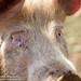 Cute Pig - Callow Farm, Stonesfield